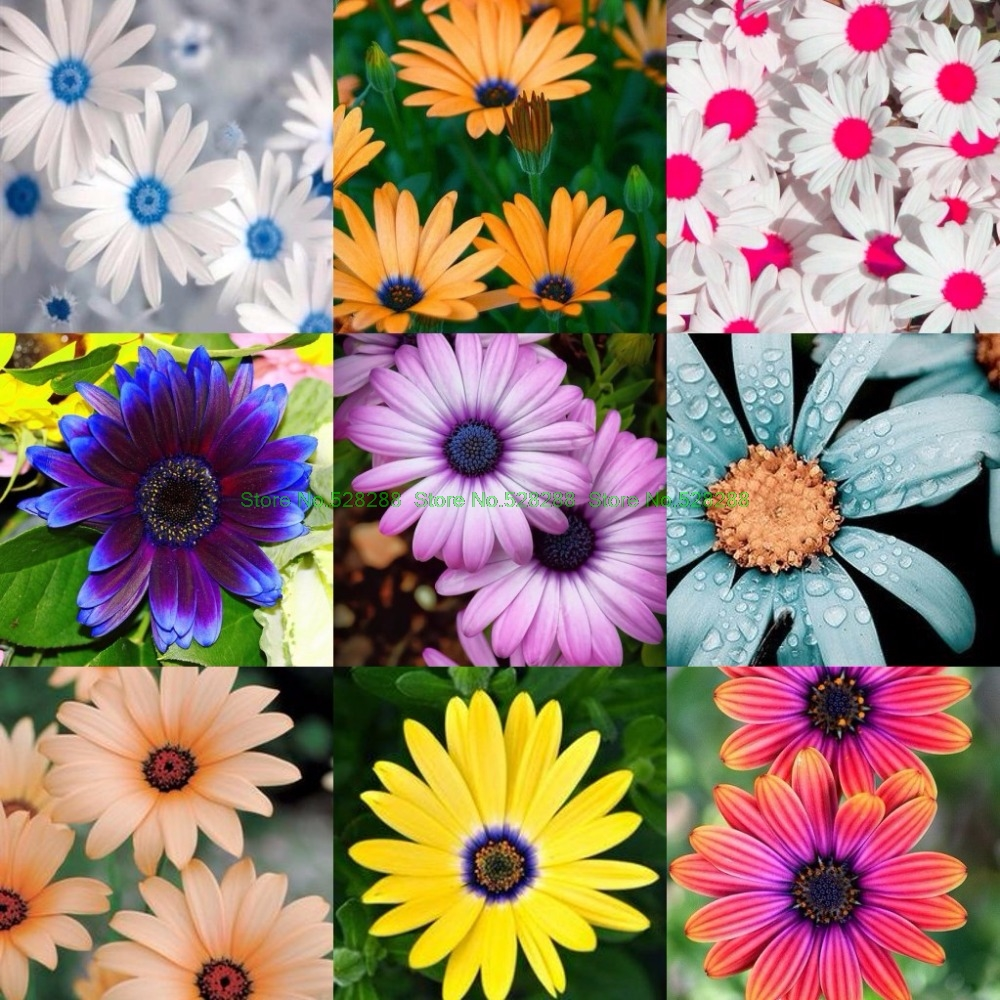 Buy seed daisy and get free shipping on aliexpress izmirmasajfo