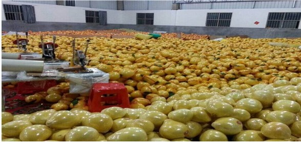 Chinois Frais Miel Pomelo Fournir de Pinghe Citrus maxima Pamplemousse