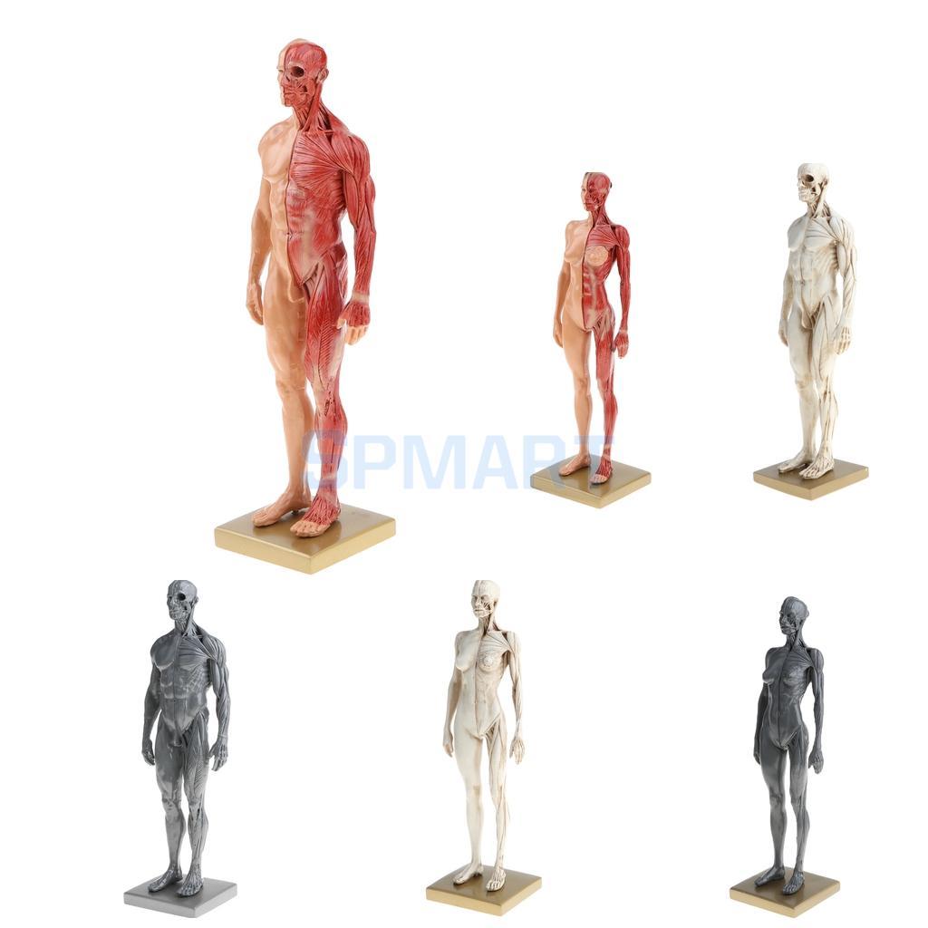 11 pulgadas macho/anatomía femenina figura Superficial anatomía ...