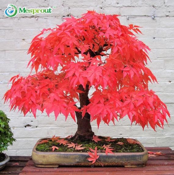 20 Semi Di Acero Giapponese Bonsai Albero Di Acero Rosso Colore Splendido  100% Real Semi