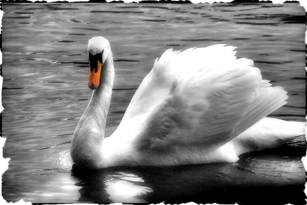 16x24 pulgadas Arte cisne gallinas de Lona Impresión de la Pared se ...