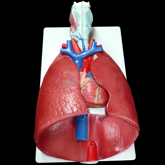 Human anatomy skeleton Life Size 7 Part Lung Model with Larynx Heart ...