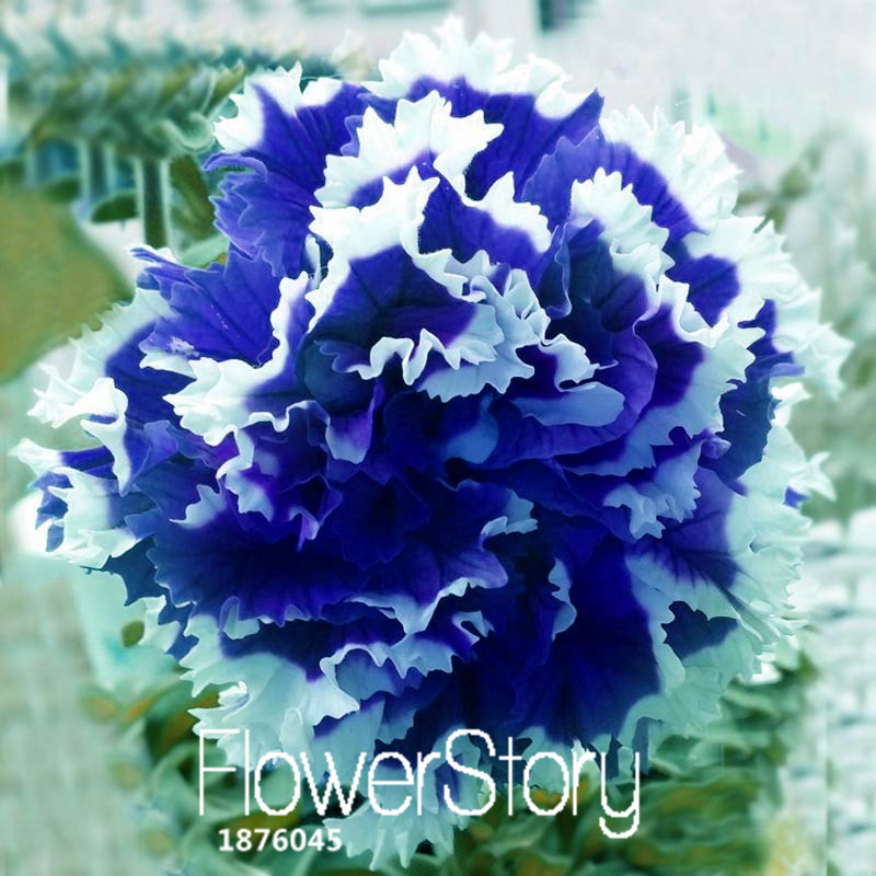 50 Pieces/Bag Petunia Petals Blue With White Side Garden Home Bonsai Balcony Flower Petunia Flower Seeds,#F1UPEZ
