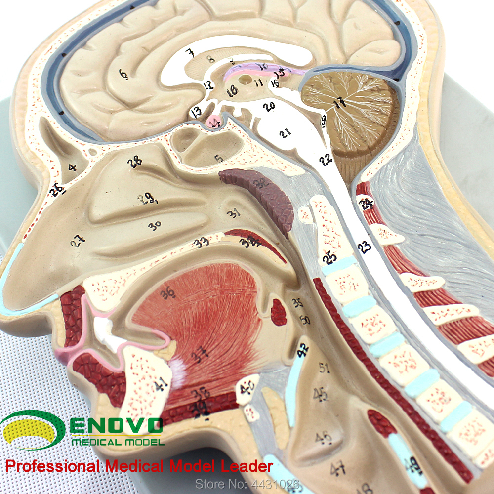 ENOVO The brain model of the brain model of the head section of the human body все цены