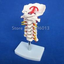 HOT Modelo de Coluna Vertebral Cervical com Artéria Do Pescoço, modelo de coluna vertebral Cervical com artéria carótida