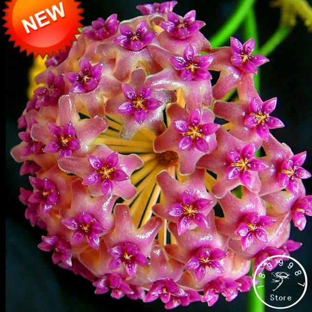 Vente! Fuchsia boule orchidée bonsaï Hoya Carnosa Plantas en pot ...