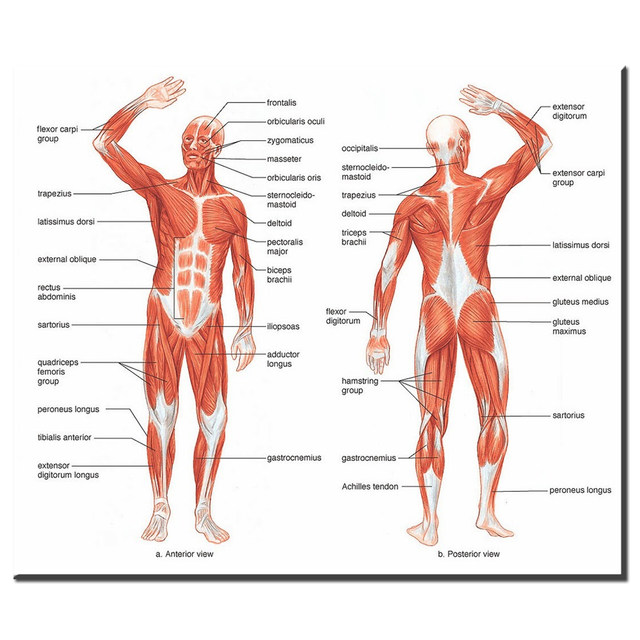 Online Shop xdr613 Human Body Anatomical Chart Muscular System ...