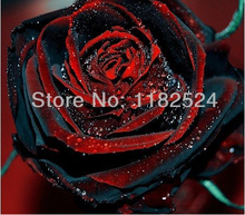 100 SEEDS – Rare TRUE BLOOD BLACK ROSE Seeds – Bonsai Flower Plant Seeds * Free Shipping