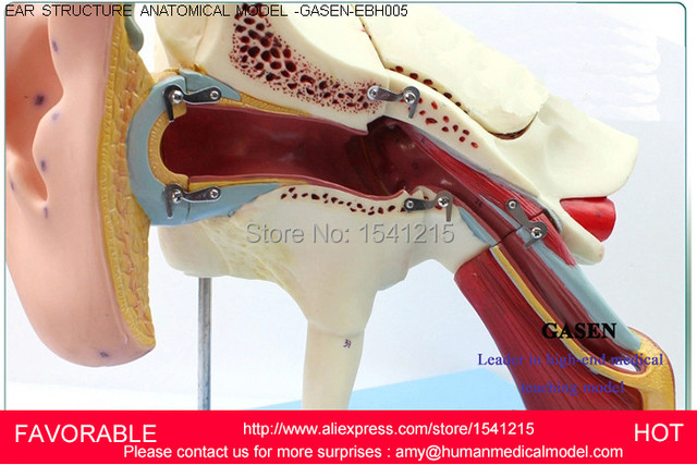 Ear Anatomical Anatomy Ear Anatomy Modelauricle Medical Anatomy