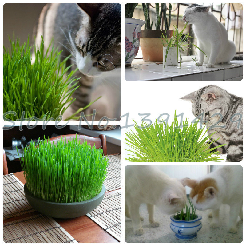 Home diy plant Tohum Sementes wheat grass cat grass seeds wheat seed packing about 200 pcs