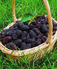 200pcs nutritious Pre-Stratified Jumbo Thornless Blackberry Seeds juicy sweet healthy fruit DIY Home Garden plant Fruit Seeds