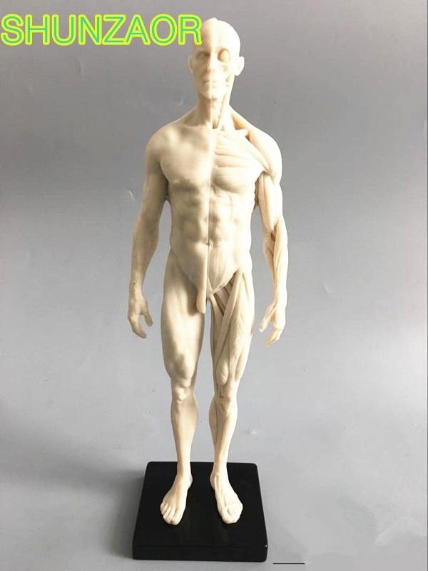 30cm  White Human Skeleton Anatomical Model Anatomy Tools Model Skull Head Muscle Bone Medical Artist Drawing