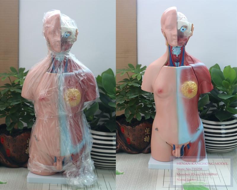 45CM Unisex Torso 23 Parts,The Human Body Anatomy Teaching Model cmam viscera01 human anatomy stomach associated of the upper abdomen model in 6 parts