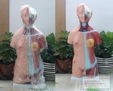 45cm torso unissex 23 partes, modelo de ensino de anatomia do corpo humano