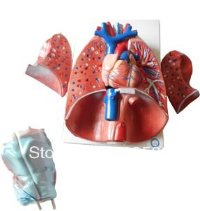 Anatomy Larynx,Heart and Lung Model anatomy larynx heart and lung model