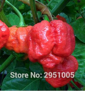 Home & Garden Energetic Imported 50 Pcs/lot Worlds Hottest Trinidad Scorpion Moruga Pepper Diy Home Garden Free Shipping Garden Supplies