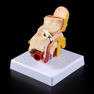 Image 3 - Medical props model 1.5 Times Life Size Human Ear Anatomy Model OrganMedical Teaching Supplies Professional