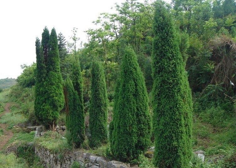 10PCS / bag Cypress Seeds, Roads Green Plants Vertical Beautiful ...