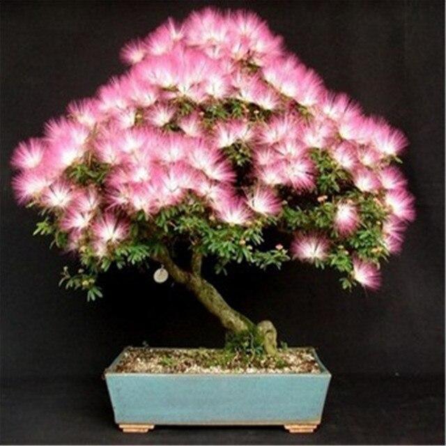 Bonsai Albizia Blumensamen Genannt Mimosa Silk Baum, Samen Für Blumen  Topfpflanzen 20 Teile/