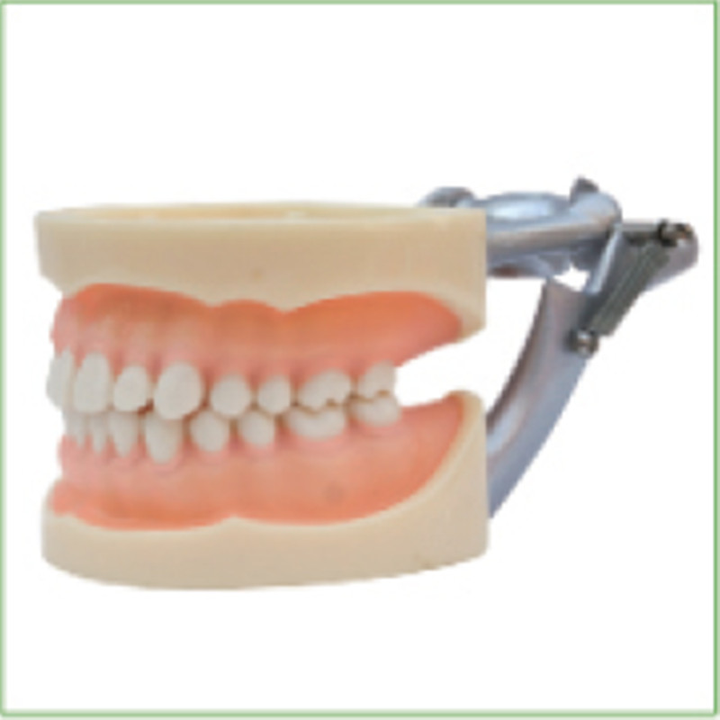 1pc Standard Model,28pcs,Soft Gum,teeth models Teeth Jaw Models for dental school teaching dentist dental teeth Models 13007 dh106 hard gum 32pcs teeth standard jaw model medical science educational dental teaching models