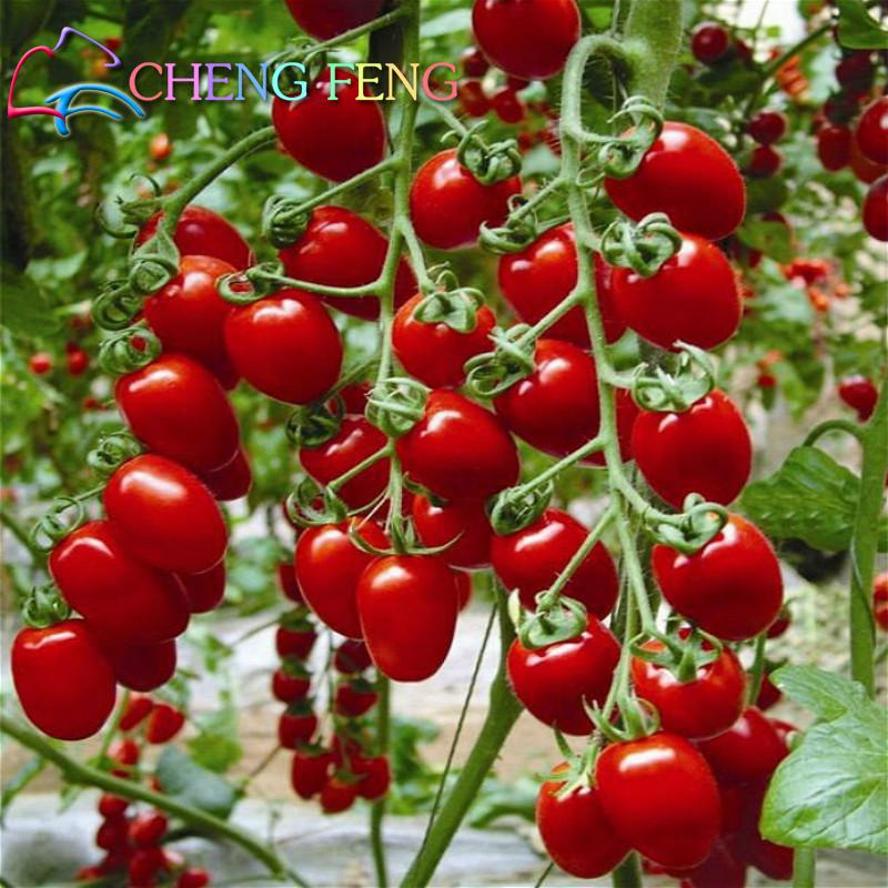 how to start cherry seeds