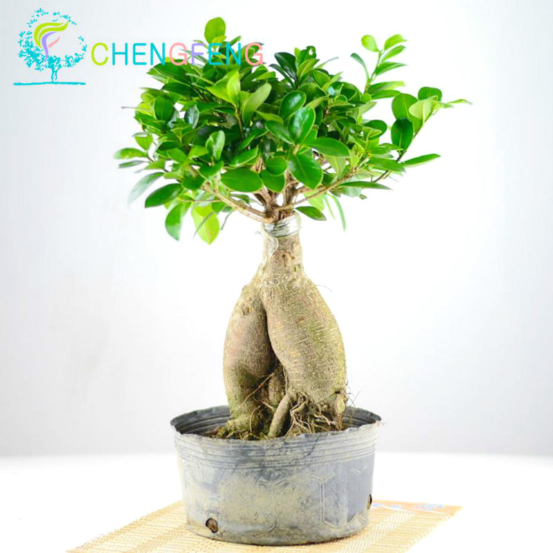 100pcs a bag banyan tree seeds ficus ginseng seed chinese rare ficus microcarpa tree green. Black Bedroom Furniture Sets. Home Design Ideas