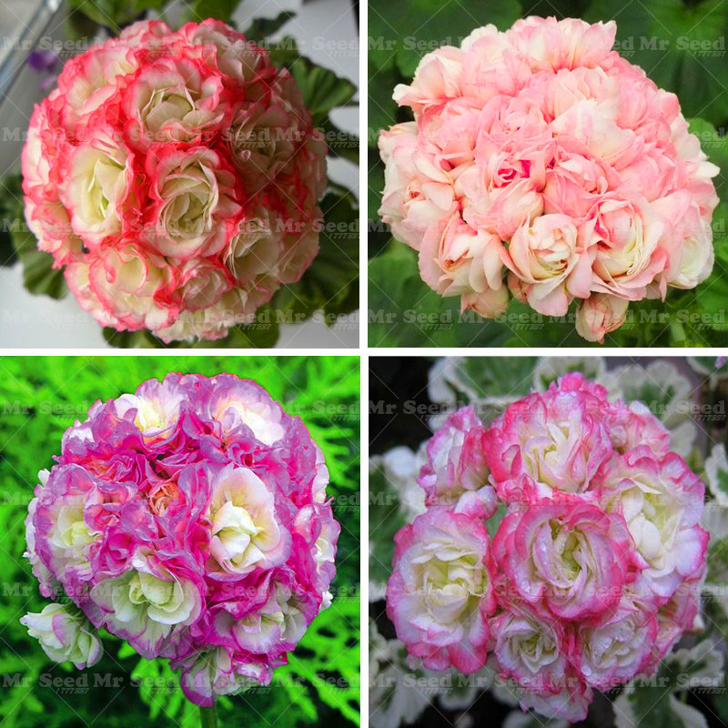 50pcs Geranium Seeds Apple blossom Rosebud Pelargonium Perennial Flower Seeds Hardy Plant Bonsai Potted Plant