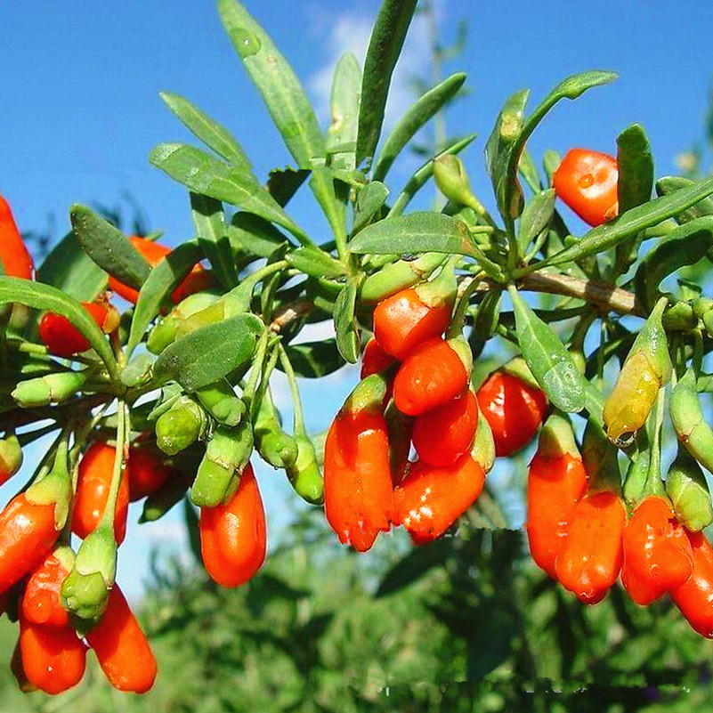 compare prices on goji berry trees online shopping/buy low price, Beautiful flower