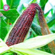 11.11 Big Promotion!20 pcs/lot Black corn seeds green vegetable seed potted in garden&home aweet fresh annual herb plant seeds