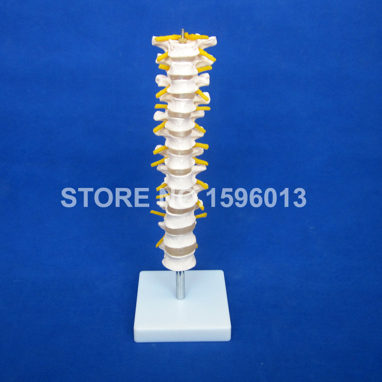 12 Thoracic Vertebra Model,Thoracic Spinal Column with Spinal Cord, Nerves and Intervertebral Discs model цена