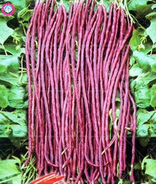 Rød Vigna Bean Home Garden Udendørs Plant Organic Negmo Grøntsager DIY Yard med Lang Podded Cowpea Snake Bean