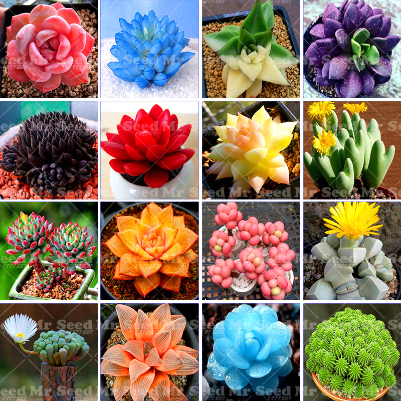 200pcs Rare Beauty Succulents Seeds Purify Air Easy To Grow Office Mini Potted Flower bonsai flower Seeds for Home Garden