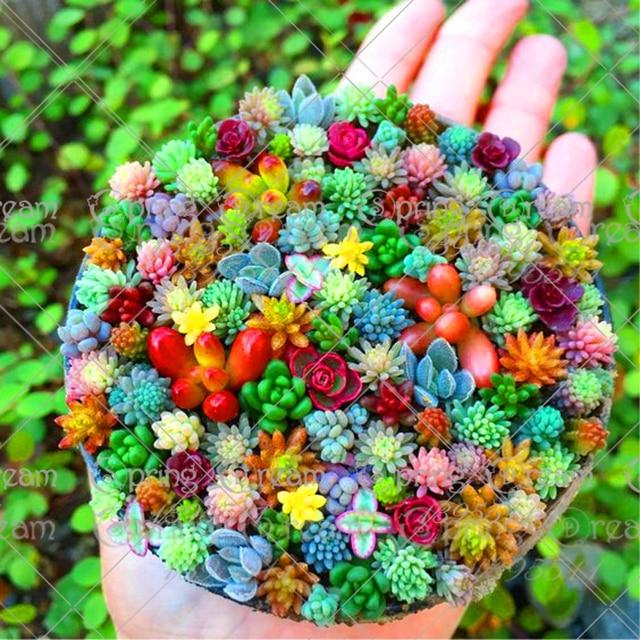100 unids bolsa real mini succulent cactus semillas raras