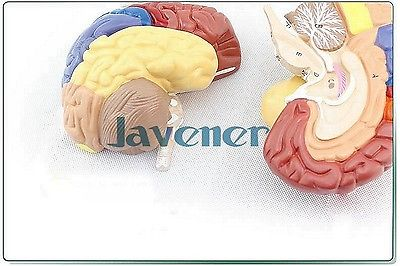 Human Anatomical Brain Function Anatomy Medical Model Professional Colorful 4d anatomical human brain model anatomy medical teaching tool toy statues sculptures medical school use 7 2 6 10cm