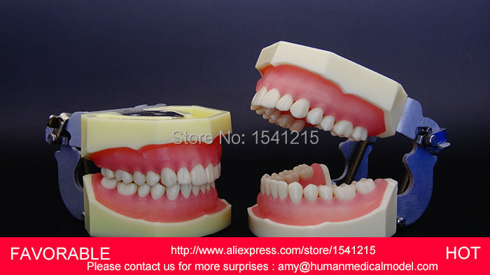 TEETH MEDICAL, DENTURES DENTAL TEACHING ORAL MODEL , DENTAL TEETH MODEL,STANDARD MODEL OF DENTITION-A -GASEN-DEN021 1 pcs dental standard teeth model teach study