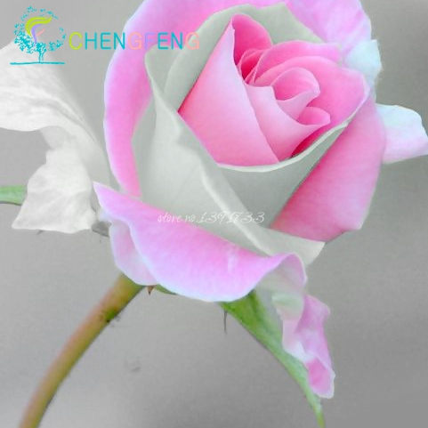 O Envio gratuito de 20 Varreu Subiu Sementes — Fire & Ice Rose, belo DIY Início Jardim vaso de Flor
