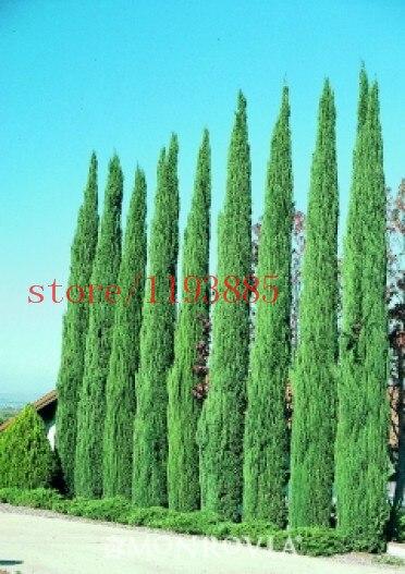 Cypress Cupressus Sempervirens Stricta Tree Seeds 100pcs