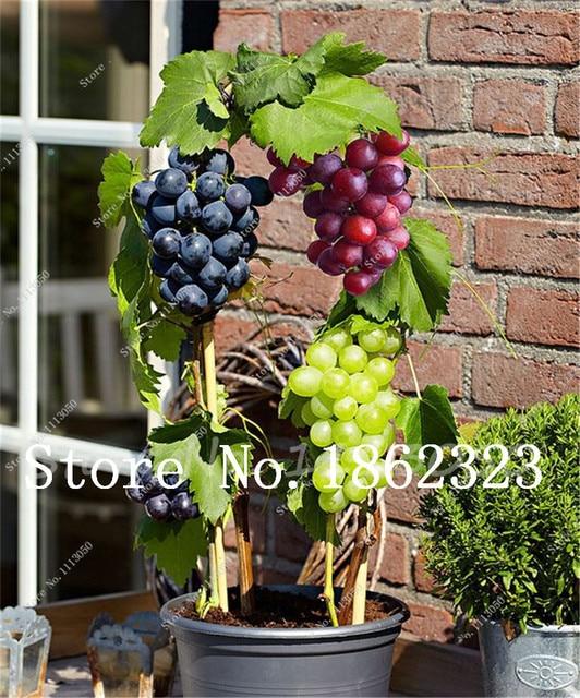 Vendita calda 100 pz Misto Succulente Uva Bonsai Mini Uve Rosse Bonsai Albero Da