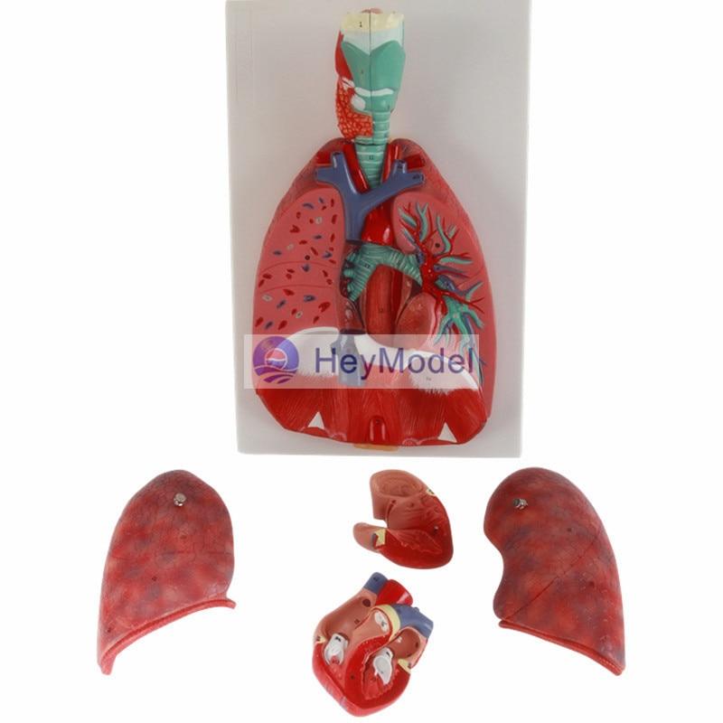 HeyModel Nasal Cavity Anatomy Model nasal anatomic model ent medical nasal anatomical model muzzle nose cavity structure model ear nose throat model gasen ebh002
