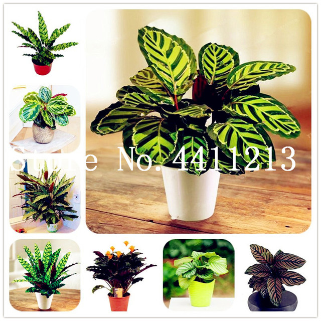 50 Pcs Calathea Bonsai Air Freshening Plants High Humidity, Easy To Grow