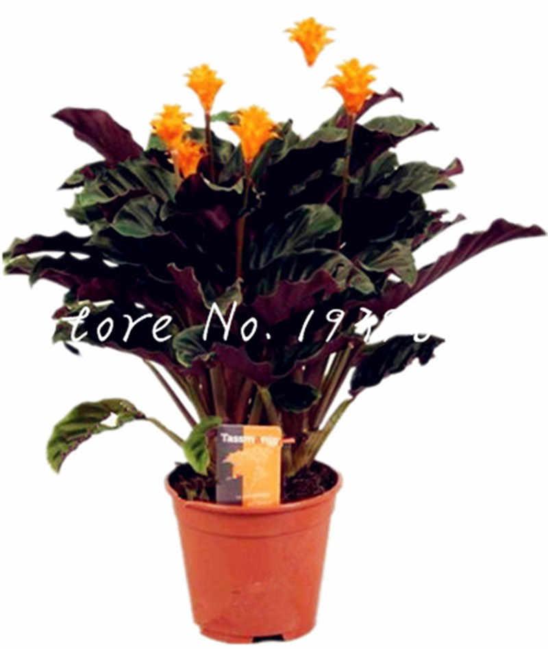Vendita! 100 Pcs In America Calathea Air Rinfrescare Piante Bellissimi Fiori Coperta Ufficio Scrivania Bonsai per il Fiore Vaso Da Giardino Ornamenti