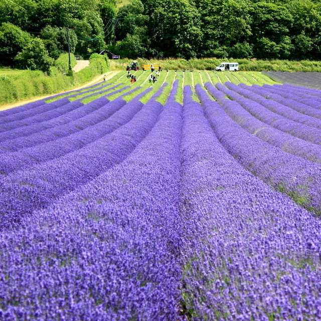 free shipping hot sale Flower seeds lavender seeds bonsai flowers and seeds flower seeds webcasts 800 four seasons