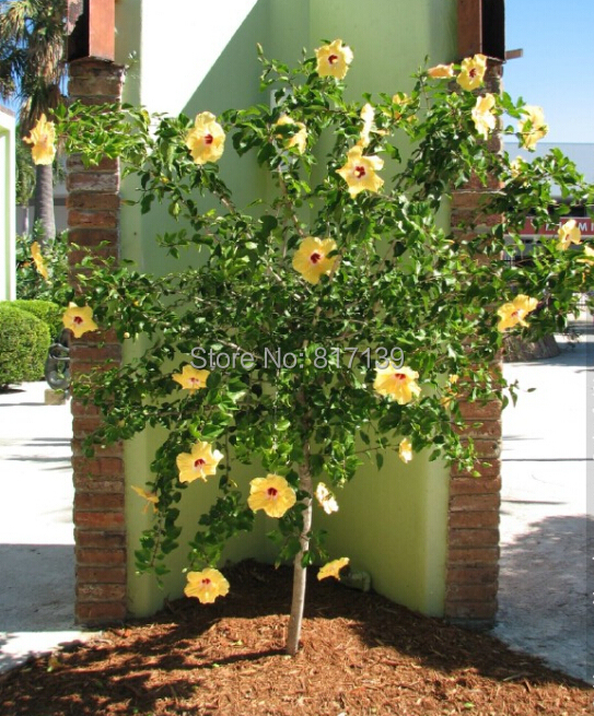 New Home Garden Plant 10 Seeds Chinese Hibiscus Seedshibiscus Rosa