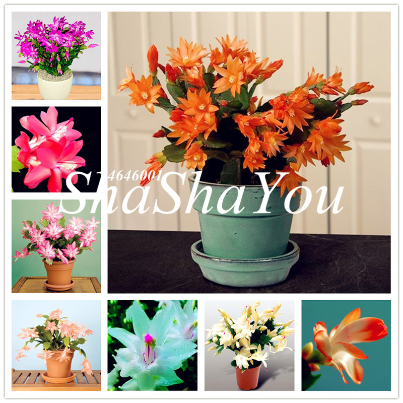 Christmas Cactus Plant.Us 0 13 82 Off 100 Pcs Bag Schlumbergera Flores Christmas Cactus Plant Plantas Multiple Color Bonsai Plant For Home And Garden Easy To Plant In