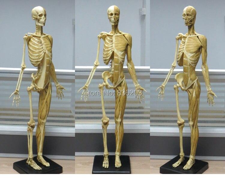 60cm Human Resin Skull Skeleton Anatomical Model For Denture Teeth