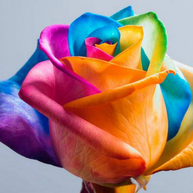 100 seeds pack rare holland rainbow rose seeds flower home for Growing rainbow roses from seeds