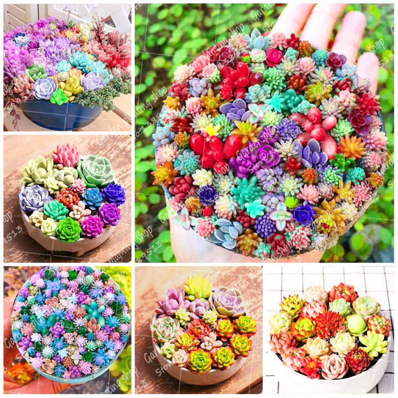 500Pcs/Bag Succulent Bonsai Plant Rare Flower Potted Garden Decoration Family Pot Planting Stone