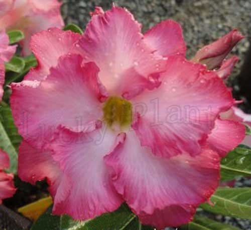 Adenium Obesum Plant Bonsai Desert Rose Giant Hibiscus Plants No1