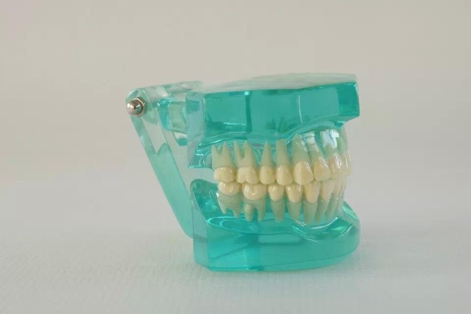 Bonne qualité modèle de taille naturelle dents dentaires dentiste dentisterie modèle anatomique d'anatomie