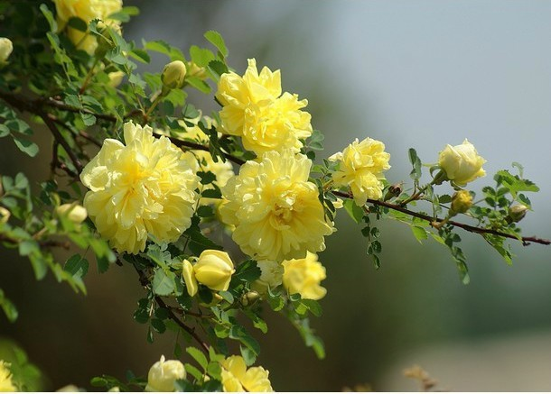 Free shipping 50 pcs yellow climbing vines rose great garden flower free shipping 50 pcs yellow climbing vines rose great garden flower seeds in bonsai from home garden on aliexpress alibaba group mightylinksfo Choice Image
